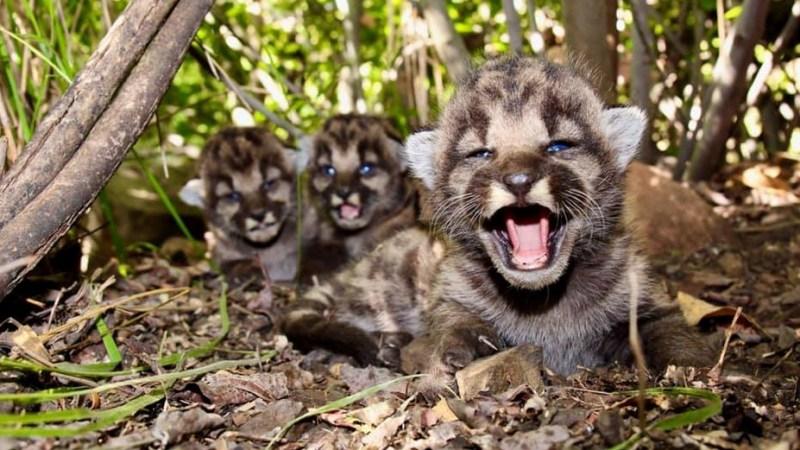 Nacen tres cachorros de puma en montañas de Santa Mónica