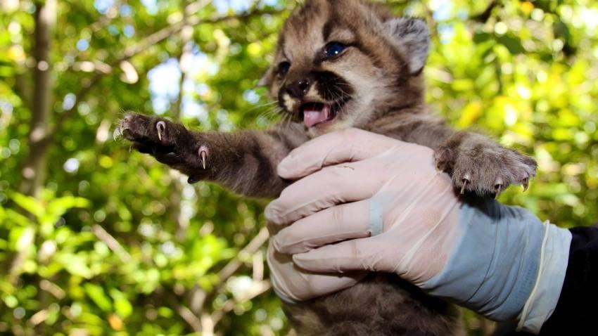 Encuentran cinco criaderos de leones de montaña en un período de tres meses