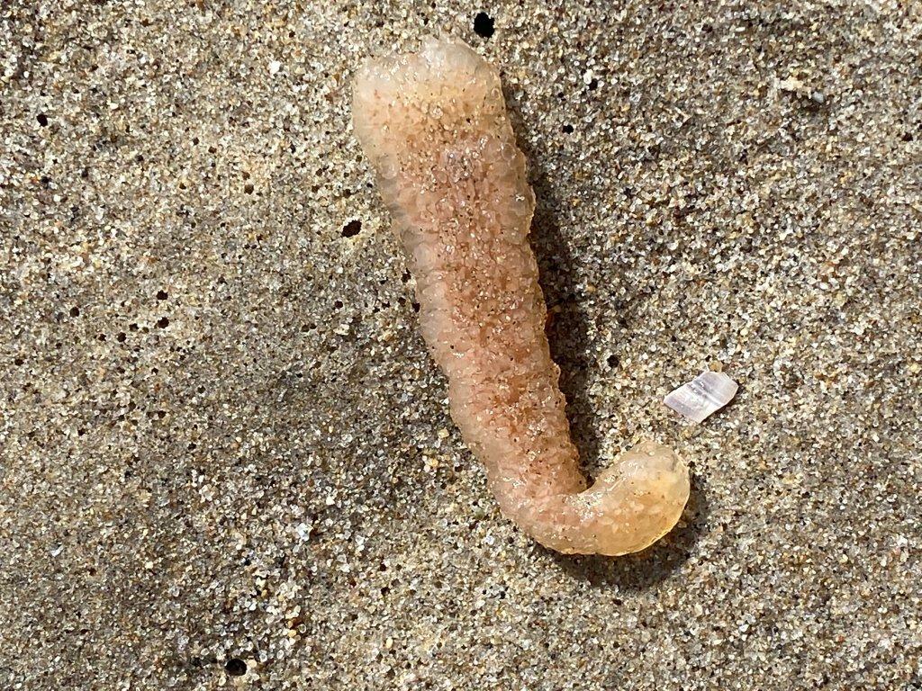 A pyrosome lies on a Santa Monica beach.