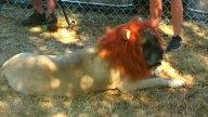 perro-leon-1