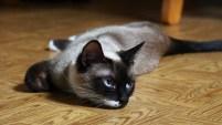 Si eres amante de los gatos pero sufres de alergias, no te desanimes. Aquí te mostramos algunas razas de gatos que no te harán salir corriendo por un antihistam...