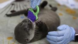 Colombia: zoológico rehabilita a pequeña nutria
