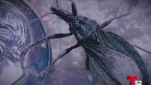 Un insecto que puede ocasionar la muerte