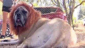 """Mujer """"convierte"""" a su perro en león para proteger su propiedad"""