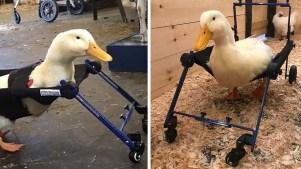 Merlín, un patito con silla de ruedas personalizada