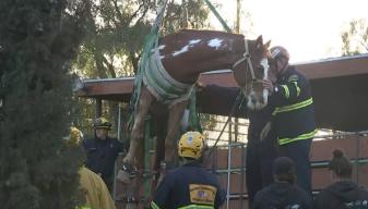 Rescatan caballo que cayó dentro de un contenedor de basura