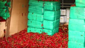 Descubren toneladas de marihuana en chiles jalapeños