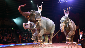 Proponen prohibir animales exóticos en circos de CA