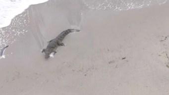 Encuentran cocodrilo en plena playa de Florida