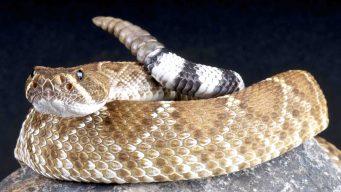 Cómo protegerse durante la temporada de serpientes