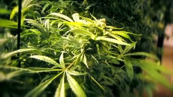 Un valle donde la marihuana forma parte de los cultivos
