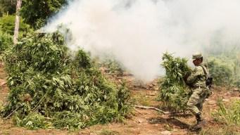 Militares destruyen plantío de marihuana