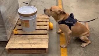 Agente canino descubre cubeta de miel con éxtasis