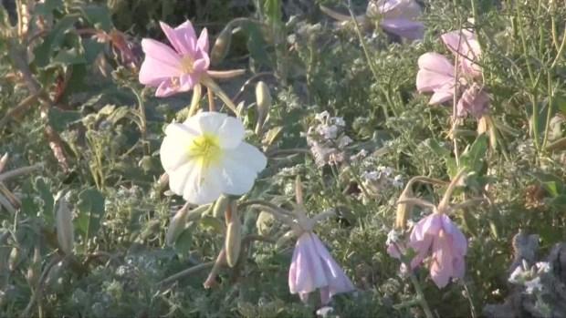 Video: insólito jardín de colores en desierto de California