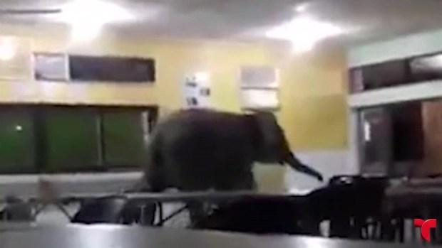 [TLMD - NATL] Elefante irrumpe en escuela y causa momentos de angustia