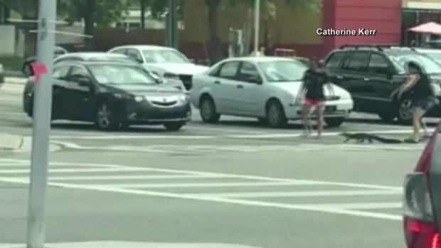 En video: mujeres ayudan a caimán cruzar la calle