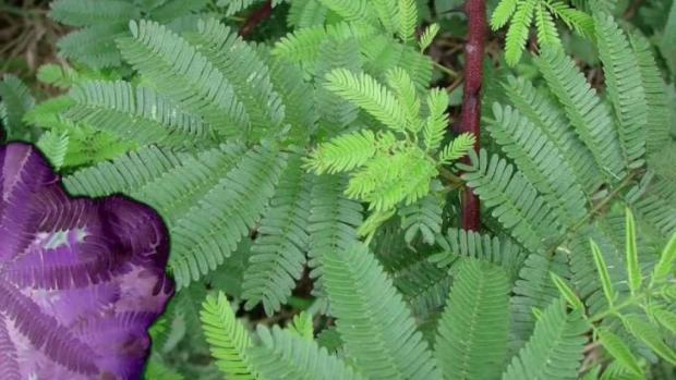 Planta utilzada por los mayas es nuevo remedio para muchos