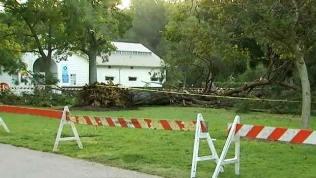 Video: Investigan sorpresiva caída de árbol en Pasadena