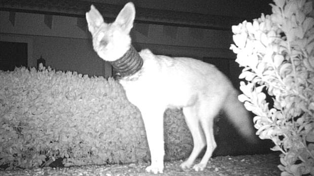 Capturan en cámara un coyote con un tubo en el cuello