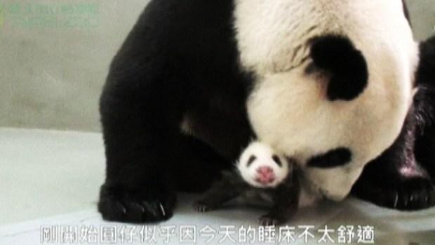 Video: Mamá y bebé panda, ¡qué ternura!