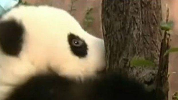 Video: Bebés panda intentan subir a árbol