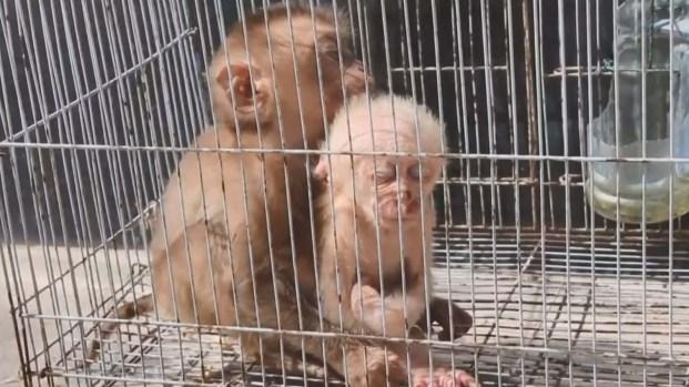 Rescatan a dos adorables monitos en peligro de extinción