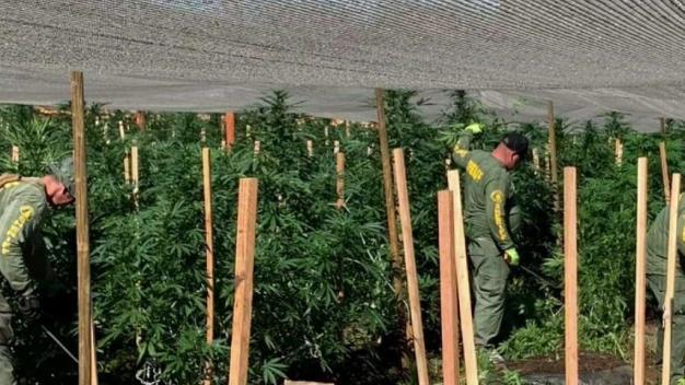 Decomisan marihuana, armas y arrestan a decenas