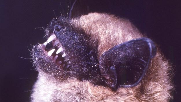 Murciélago encontrado en Anaheim da positivo para rabia