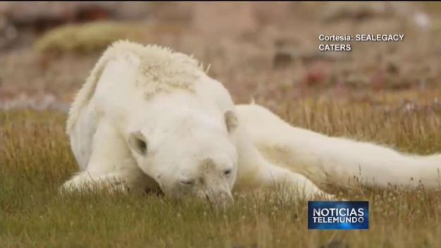 Impactante: oso raquítico y moribundo crea polémica