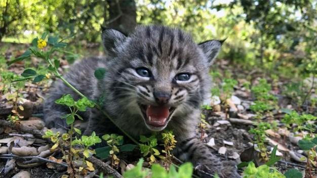 Lince sobrevive a Incendio Woolsey y da a luz a cuatro gatitos