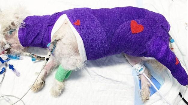 Se recupera perro que sobrevivió quemaduras