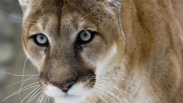 Perdonan la vida de puma que mató alpacas en Malibu