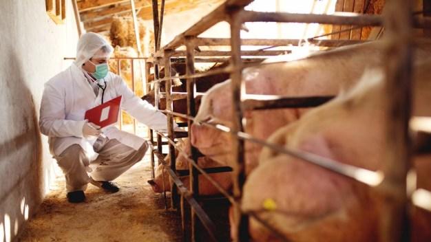 Científicos reviven parcialmente cerebro de cerdos muertos}