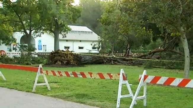 Investigan sorpresiva caída de árbol en Pasadena
