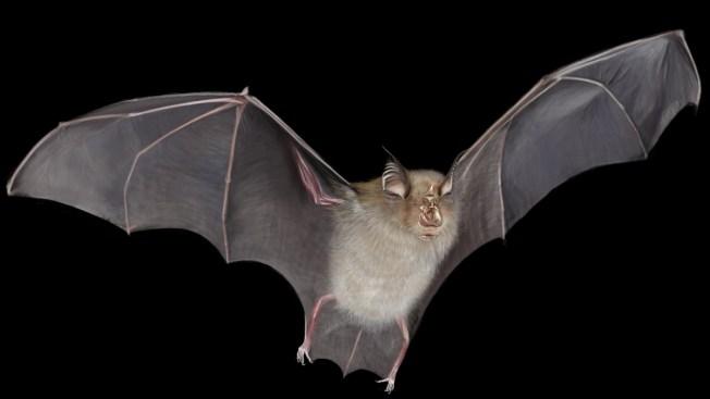 Exhortan sobre virus en murciélago encontrado en Irvine