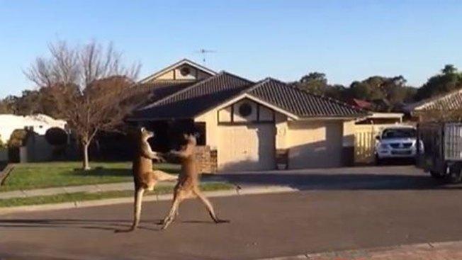 Brutal pelea de canguros en plena calle