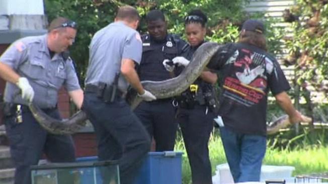Confiscan gigantescos reptiles en Texas