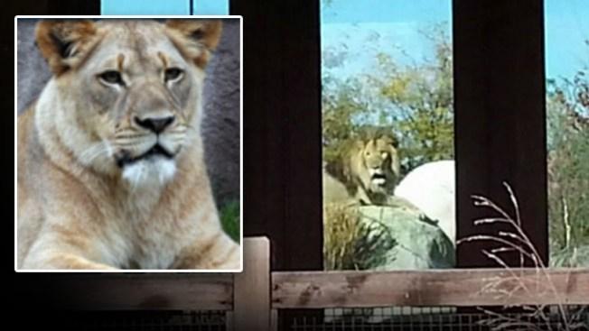 Público ve a león matar a leona en el zoo