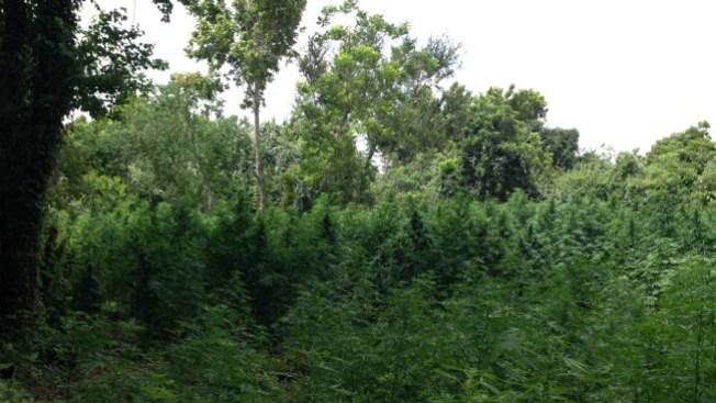 Descubren jungla de marihuana