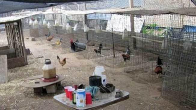 Golpe a las peleas ilegales de gallos