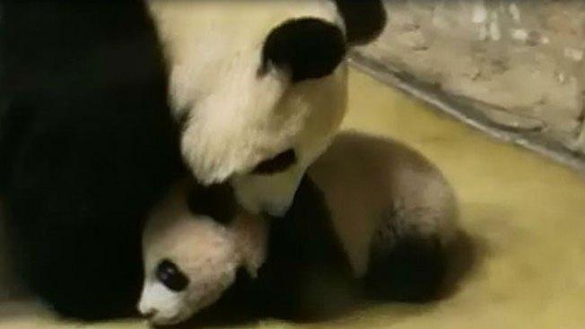 Los primeros pasos de un oso panda