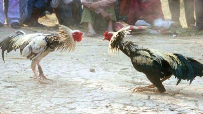 Alto a las peleas de gallos