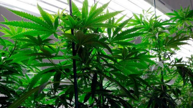 Llegan por alarma y encuentran marihuana