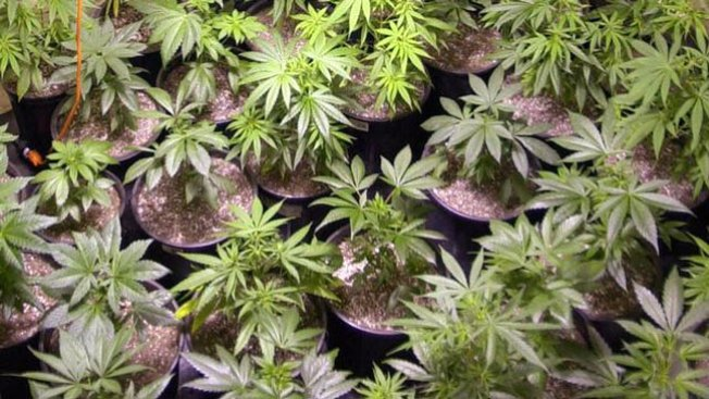 EEUU: marihuana sería motor económico