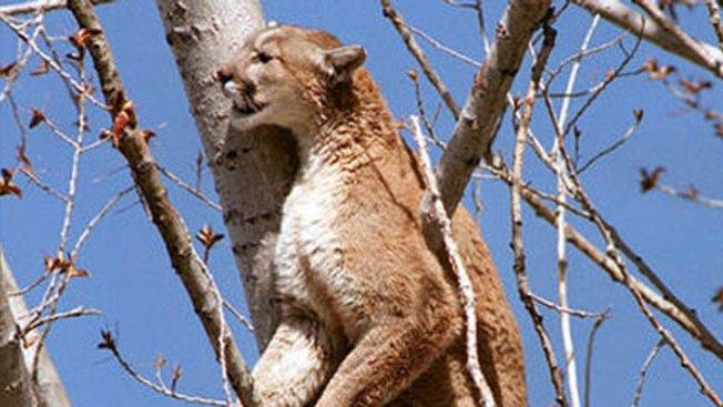 Puma causa terror entre visitantes