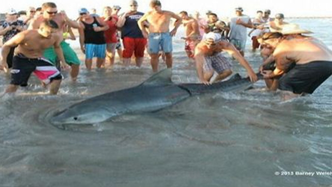 Cabalgan  tiburón como si fuera un toro