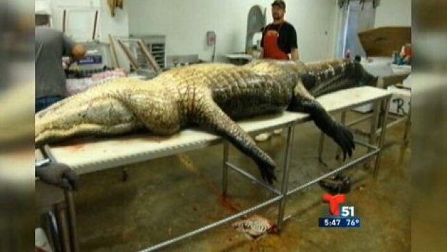 Capturan un enorme cocodrilo