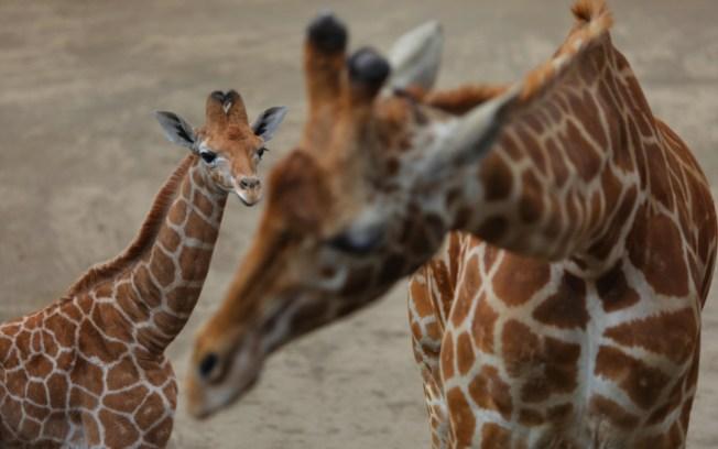 """Nombran """"Jirafifita"""" a cría de jirafa en México"""