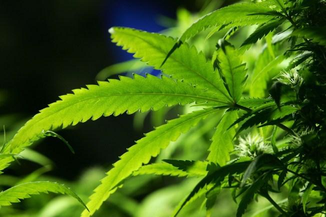 California: Legalización mata negocio de marihuana medicinal