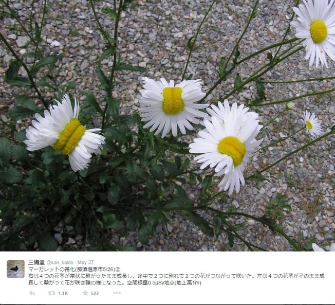 Viral: Flores mutantes por radiación en Japón